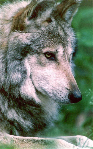 Mexican Grey Wolf