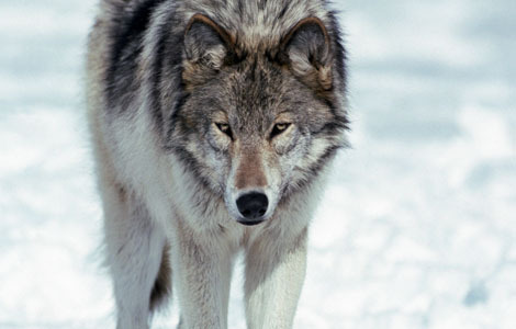 National Geographic achtergrond probably with a timber wolf titled In The Wild