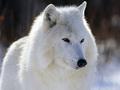 Arctic بھیڑیا