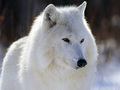 Arctic волк