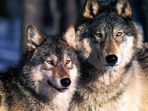 National Geographic achtergrond possibly containing a timber wolf titled Grey Wolves