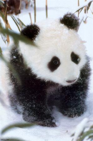 Cute Panda&#39;s <3