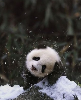 Pandas Images Cute 3 Wallpaper And Background Photos