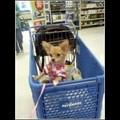 MsPrincess in Shopping Cart - chihuahuas photo