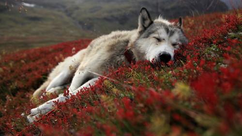 serigala wallpaper called WolF