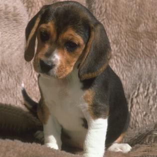 brak, beagle dogs