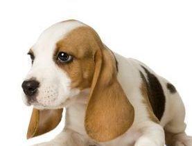 beagle Anjing