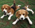 Beagle dogs - dogs photo