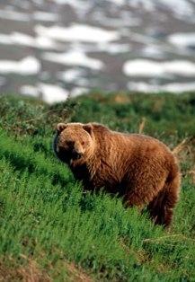 Βrown भालू