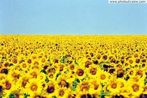 Field of sunflowers - ukraine Photo