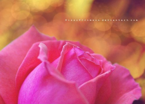 розовый Rose