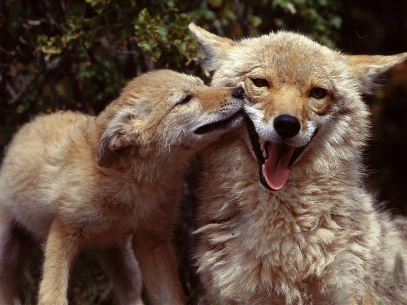 coyotes images coyotes are awesome hd wallpaper and