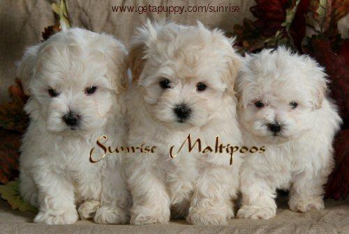 Adorable Maltipoos