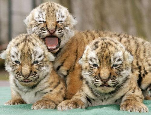 Babys Tiger