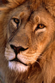King of the Jungle - lions photo