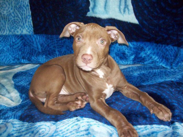 pitbulls images my little cookie monster �� wallpaper and