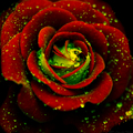 Rose - flowers photo