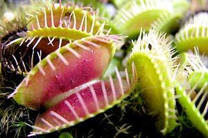 Venus fly trap - Venus Flytraps Photo