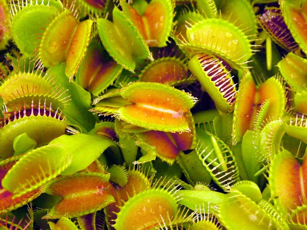 Venus Flytraps images Venus fly trap HD wallpaper and background photos