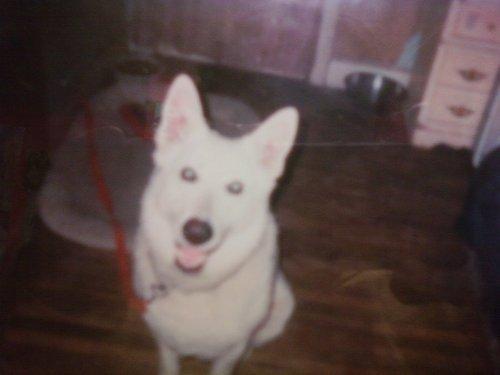 my dog shiro who looks like bolt