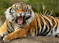 Tiger's reaction to watching Friday - rebecca-black photo