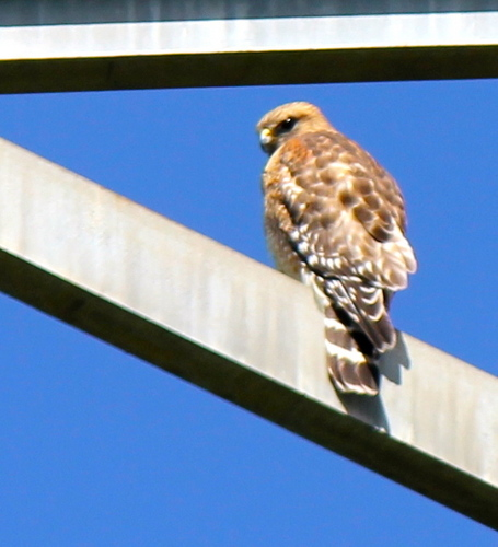 A Red-Shouldered Hawk