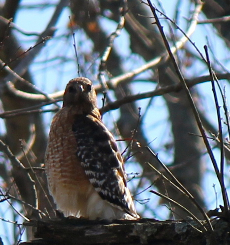 Red-Shouldered Hawk Looking at Me!