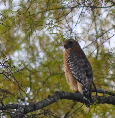 Red-Shouldered Hawk Perching