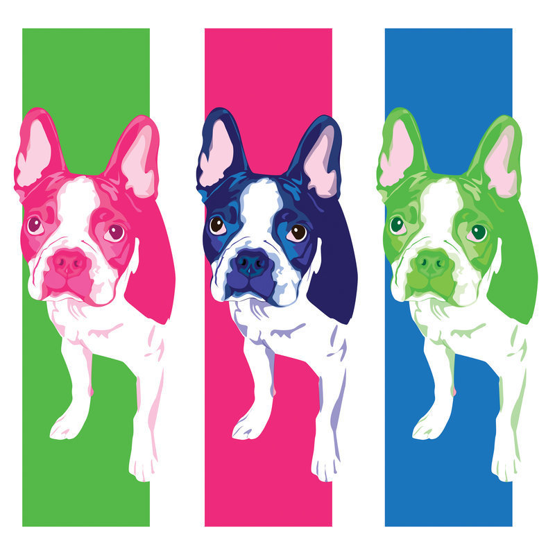 Boston Terriers Images Terrier HD Wallpaper And Background Photos