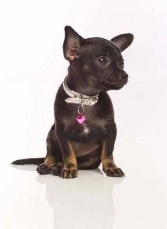 chihuahua cachorro, filhote de cachorro :)