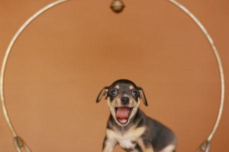 Chihuahuas wallpaper entitled Chihuahua Puppy :)