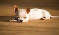 Chihuahua Puppy :) - chihuahuas photo