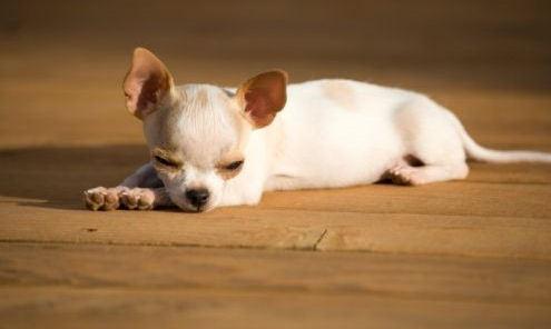 chihuahua perrito, cachorro :)