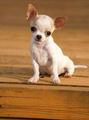 チワワ 子犬 :)