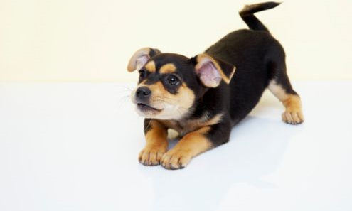 चिहुआहुआ कुत्ते का बच्चा, पिल्ला :)