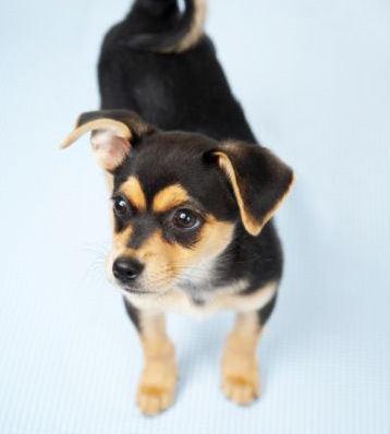 chihuahua anak anjing, anjing :)