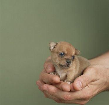chihuahua anjing, anak anjing :)