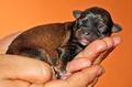 chihuahua cucciolo :)
