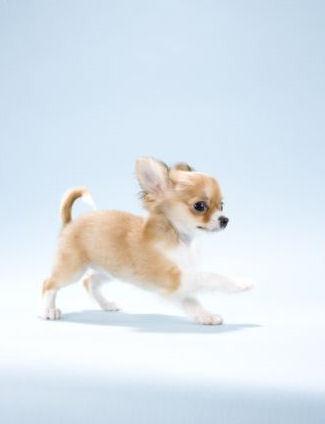 奇瓦瓦, 奇瓦瓦州 小狗 :)