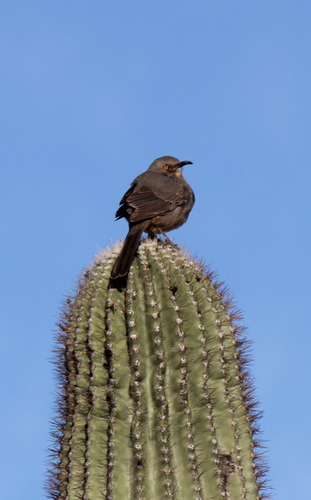 Curve-Billed Thrasher on a Cactus