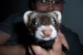 FeRrEt!!! - ferrets photo