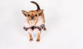 Lovely <33 - chihuahuas photo