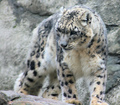 Snow Leopard - rennerocksclub photo