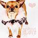 Sweet Love <33 - chihuahuas icon