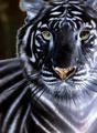 black tigers - black-tigers photo