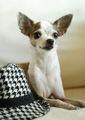 Chihuahua with a hat :) - chihuahuas photo