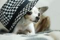 Chihuahua with a hat :) - chihuahuas photo