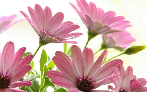 Beautiful Pictures karatasi la kupamba ukuta with an african daisy, a daisy, and a common daisy titled HD karatasi za kupamba ukuta