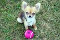 Little Sweetheart  ❤  - chihuahuas photo