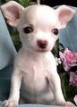 Little Sweetheart  ❤  - chihuahuas photo